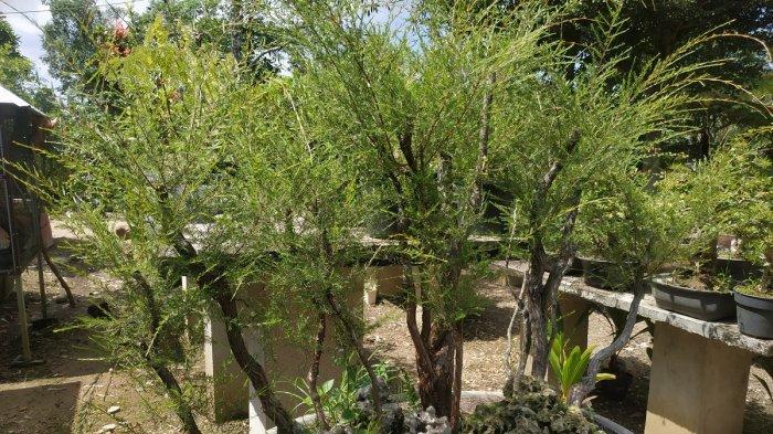 Bonsai Asam Jawa Sulit Ditemukan di Kalimantan, Sebaliknya Cucur Atap, Sulit Ditemukan di Jawa