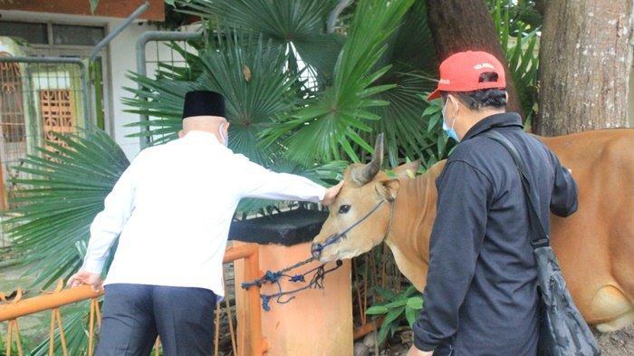 Bupati H Abdul Wahid HK mengelus sapi untuk hewan kurban yang akan dipotong panitia di dekat kantornya, Kota Amuntai, Kabupaten Hulu Sungai Utara (HSU), Provinsi Kalimantan Selatan, Rabu (21/7/2021). Daging kurban dibagikan kepada petugas kebersihan dan lainnya.