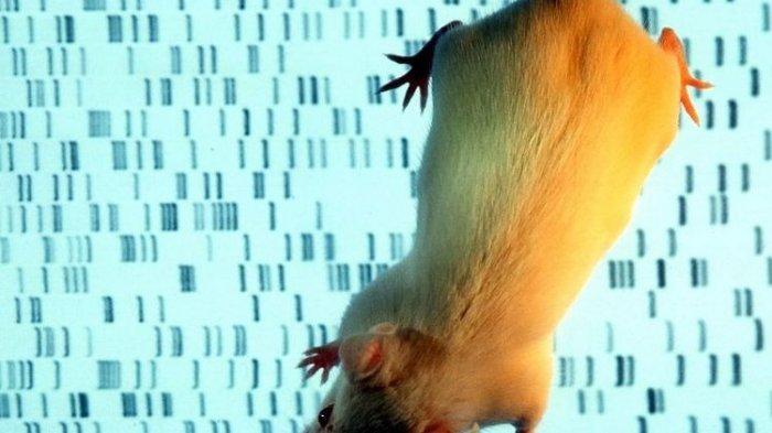 Chimera, Makhluk Titisan Tikus dan Manusia Tercipta di Dunia, 4 Persen Selnya Mirip Kita