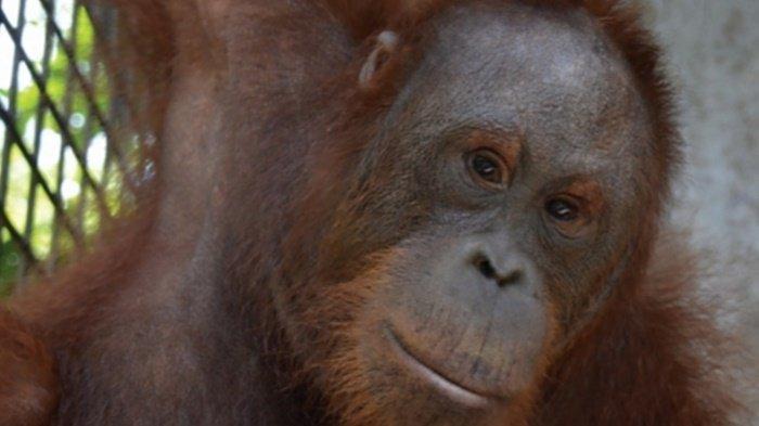 Tujuh Orangutan Hasil Rehabilitasi BOSF Palangkaraya Dilepasliarkan ke Alam