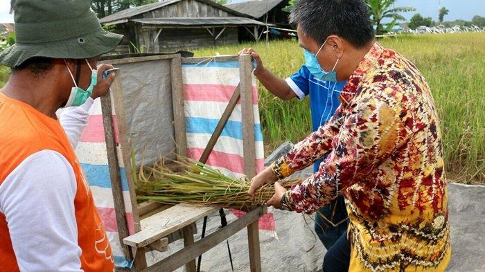 Jadi Mitra Petani Banua, Bank Kalsel Dukung Petani Kabupaten Tala Panen Demplot Padi Unggul