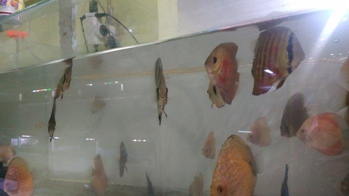 Si Bulat Pipih Menyala, Ikan Discus Primadona Ikan  Premium di Banjarbaru