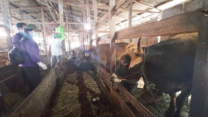 Permintaan Hewan Kurban di Kabupaten Tapin Menurun Sejak Pandemi Covid-19