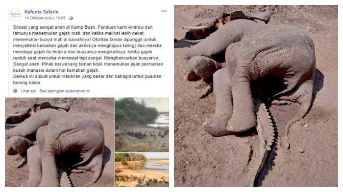 VIRAL FOTO Pertarungan Brutal Buaya Vs Gajah, Berakhir Tak Ada Pemenang, Si Buaya Mati Tertindih