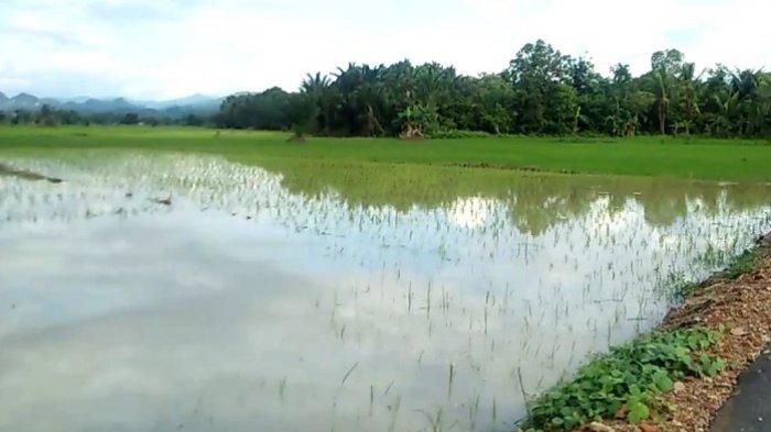 Masih Mengandalkan Tadah Hujan, Program Serasi di Desa Setiap Kabupaten HST Kalsel Baru 3 Hektare