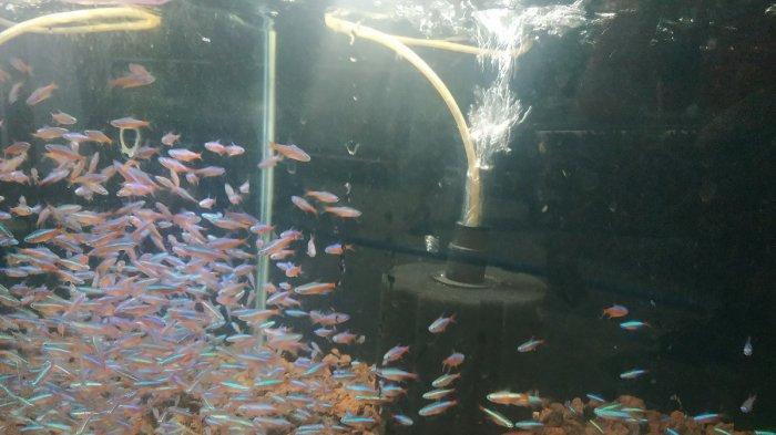 Tetra Menyala Vs Black Gosh, Ikan Hias yang Mulai Ramai Diburu Warga di Banjarbaru
