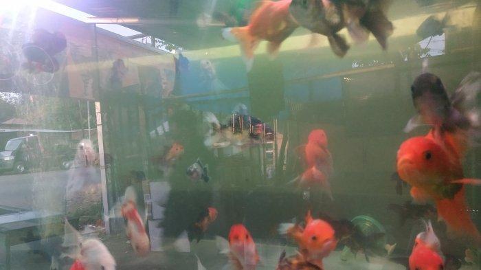 Koi, Ikan Hias Legend yang Paling Disukai Para Kolektor