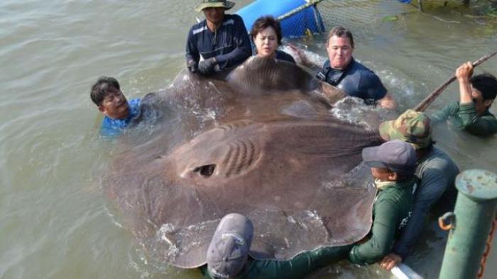 Kasusnya Mirip Steve Irwin Pria Australia Ini Tewas Setelah Tertusuk Ekor Ikan Pari Banjarmasin Post