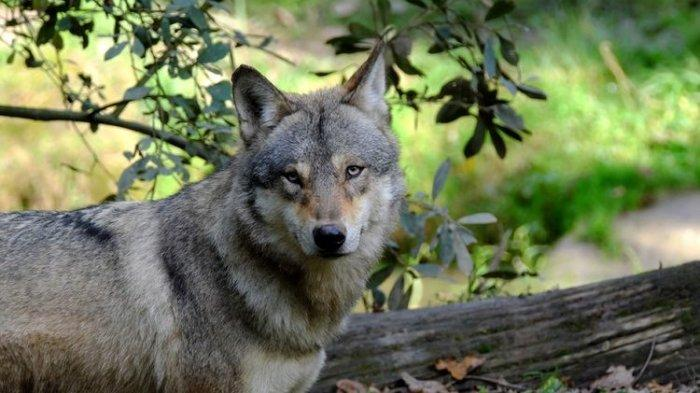 Fakta Naiknya Jumlah Serigala di Perancis, dari Bunuh 12.500 Ternak Hingga Kuota Perburuan Ditambah