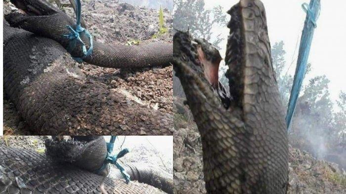 Geger, Foto Ular Raksasa Hangus Terbakar di Hutan Kalimantan, Dikaitkan Anakonda, Ini Faktanya