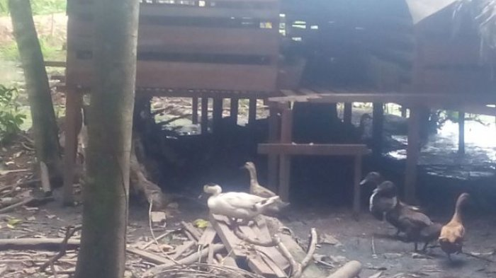 Positif Flu Burung, Ratusan Ekor Itik di Basarang Mati Mendadak