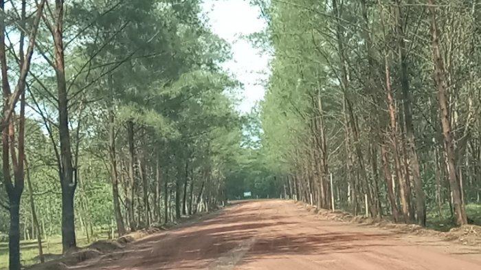 Hutan Galam Perawan Swarangan Cuma Setengah Jam dari Kota Pelaihari