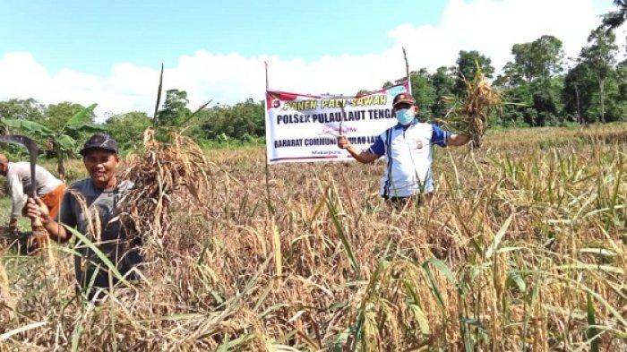 Panen Padi Perdana, Polsek Pulaulaut Tengah dan BCPLT Akan Salurkan Sebagian ke Warga Kurang Mampu