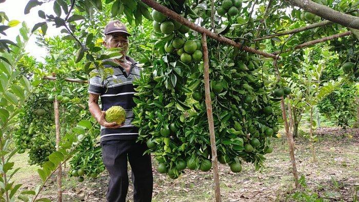 Wisata Kalteng, Kebun Buah Cipta Rasa Palangkaraya, Bisa Petik Langsung di Pohon