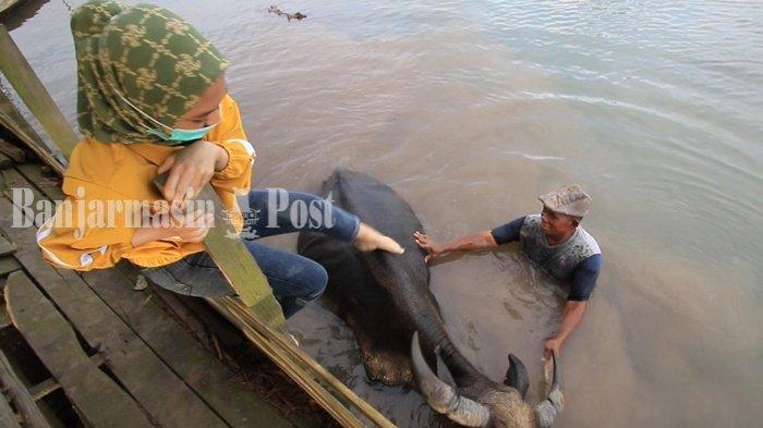 WEEKLY ANIMAL - Serunya Menunggangi Kerbau Rawa di Benuaraya Kabupaten Tala