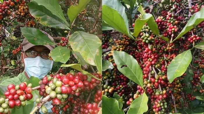 Harga Kopi Green Bean Stabil, Per Kilogram Rp 50 ribu
