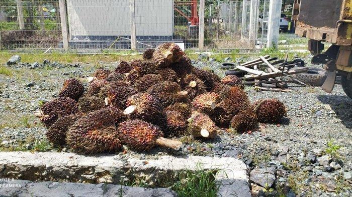 Harga Sawit Tinggi, Ekspor Sawit Kalsel Turun 595 ribu ton
