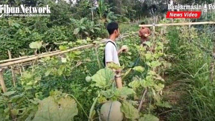 Lahan buah melon milik Hamzallah di Desa Karya, Kecamatan Halong, Kabupaten Balangan, Provinsi Kalimantan Selatan, Selasa (20/7/2021).
