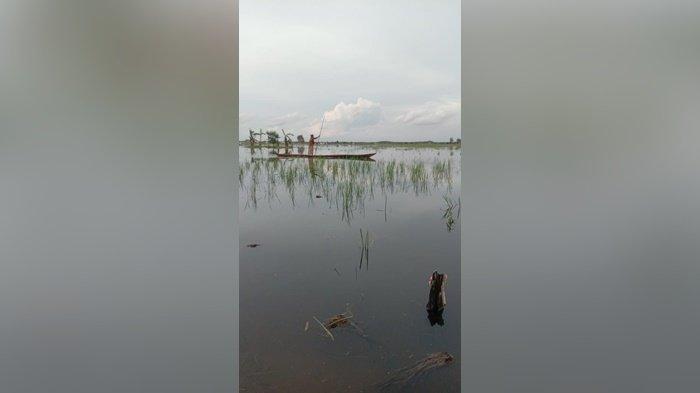 Rusak Terendam Banjir, Seluas 1.735 hektare Sawah di HSS Diusulkan Bantuan Benih padi