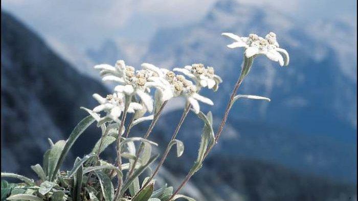 Tahukah Anda Bunga Edelweiss Asli Ternyata Di Pegunungan Alpen Banjarmasin Post