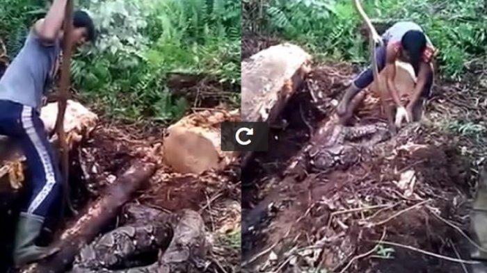 Pakai Sebatang Kayu, Pria di Kaltim Ini Tangkap Ular Piton Lebih Besar dari Pemangsa Akbar