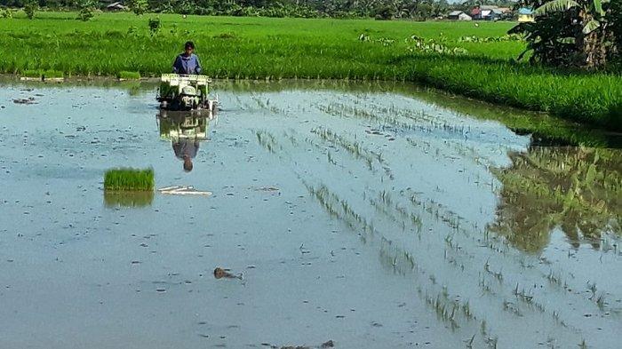 Petani Karang Intan Panen Padi Unggul Seluas 200 Hektare, Begini Potensi Padi di Banjar