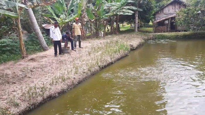 Panamas Sentra Budidaya Kolam Ikan Patin di Kabupaten Kapuas Kalimantan Tengah