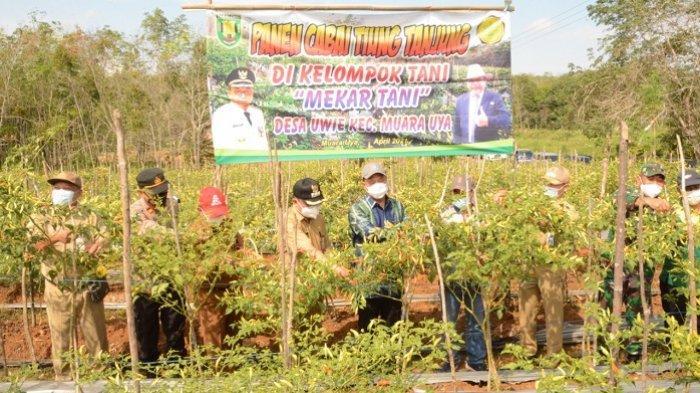 Produksi Cabai Besar dan Cabai Rawit diTabalong Surplus, Siap Ramaikan Pasar Agribisnis