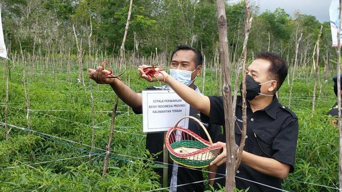 Meski Petani Cabai di Sampit Panen Besar, Hasilnya Jadi Milik Tengkulak yang Membantu Permodalan