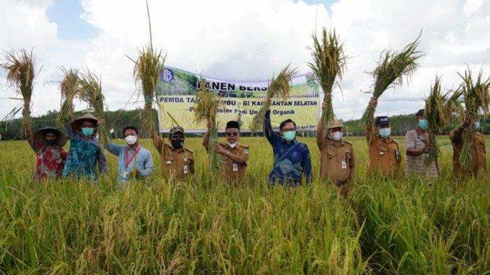 Petani Karang Mulya Kabupaten Tanbu Penen Padi Organik