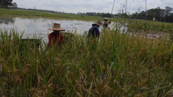 Batola Targetkan Tanam Padi Unggul 4 Ribu Hektar