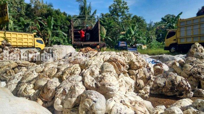 Petani Kalsel Berharap Harga Karet Tetap Tinggi, Kini di Kisaran Rp 8 Ribu Per Kg