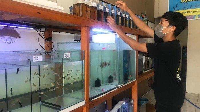 Bisnis Ikan Hias di Banjarmasin Makin Marak, Gupi dan Cupang Laris Manis