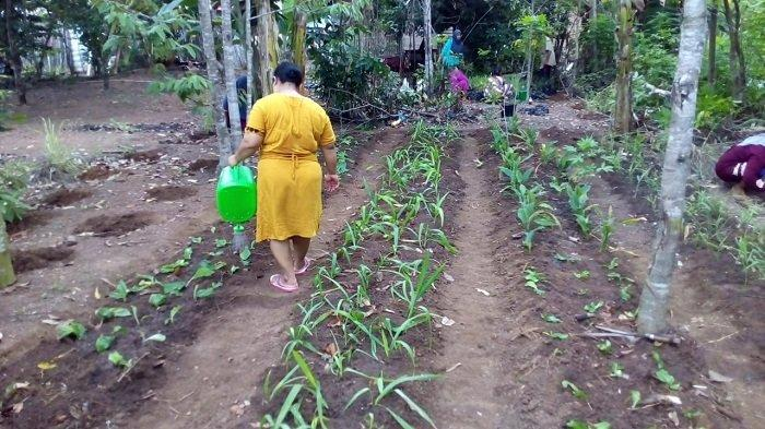 Intensifikasi lahan pekarangan dengan Tanaman Obat Keluarga (Toga) ULM bikin pekarangan warga Mandiangin Timur hijau dengan jahe, lengkuas, kelor, kunyit, hingga tanaman sayur dan buah.