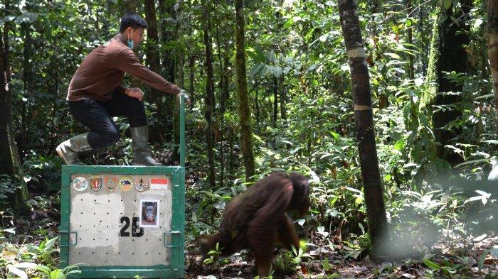 Yayasan BOS Pindahkan Tiga Orangutan Hasil Rehabilitasi ke Pulau Badak Kecil Pulang Pisau Kalteng
