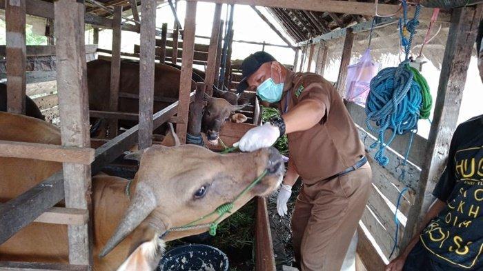 Tiap Desa di Kabupaten HSU Ada yang Bisa Lakukan Pemeriksaan Kesehatan Hewan Kurban