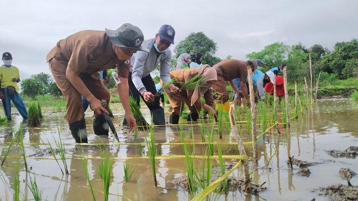 Terapkan Program IPDMIP, Petani di Beberapa Kawasan Batola Tanam Padi Unggul Dua Kali Setahun