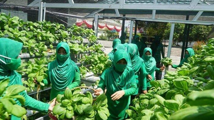 Persit Kartika Chandra Kirana Kodim 1011/Kualakapuas Kalteng Panen Sayur Hidroponik