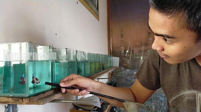 Sempat Booming, Pedagang di Banjarmasin Ini Sebut Harga Ikan Cupang Terjun Bebas