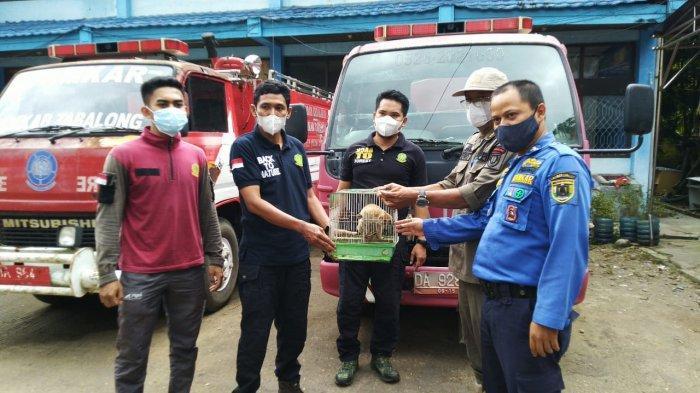 Sempat Diamankan di Damkar Tabalong, Kukang Kalimantan Temuan Dijemput BKSDA Kalsel