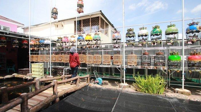 WEEKLY ANIMAL-Burung Perkutut Tiga Ratus Juta, Ternak Perkutut Ala Sumo Bird Farm Banjarmasin