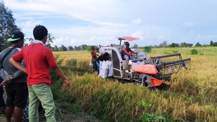 Petani di Tinggiran Darat Batola Mulai Panen, Keluhkan Turunnya Harga Padi