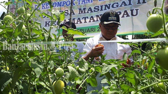 Petani di Desa Masingai, Kecamatan Upau, Kabupaten Tabalong, Kalsel saat ini sedang panen tomat.