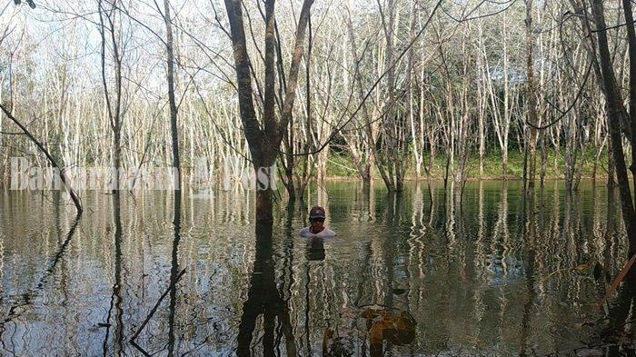 Kebun Karet Seluas 1.358 Hektare di Kalsel Terdampak Banjir
