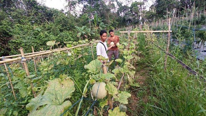 Coba Tanam Melon, Hamzallah Cari Peruntungan Rupiah dan Sukses Pasarkan ke Warga Sekitar