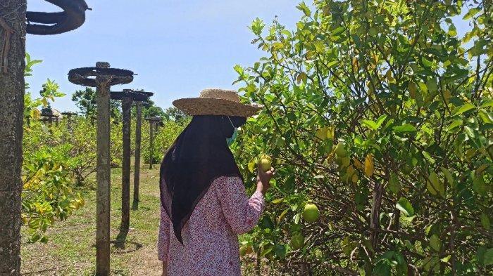 Wisata Kalsel, Masih Jarang yang Tahu, Ini Lho Tempat Wisata Petik Lemon di Kalsel