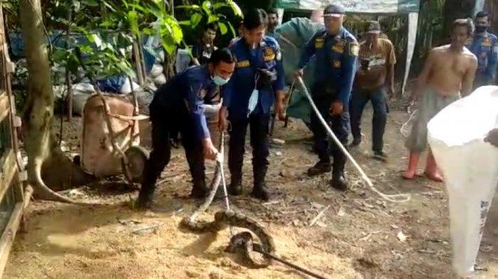 Kerahkan Sembilan Personel, Damkar Tapin Evakuasi Ular Sanca Sepanjang Pemangsa Ayam Warga