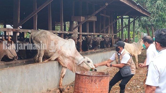 Petugas Dinas Pertanian Kabupaten Hulu Sungai Selatan (HSS), Kalimantan Selatan, saat akan memeriksa kesehatan sapi yang nantinya menjadi hewan kurban di momen Idul Adha 1442 H, Rabu (14/7/2021).