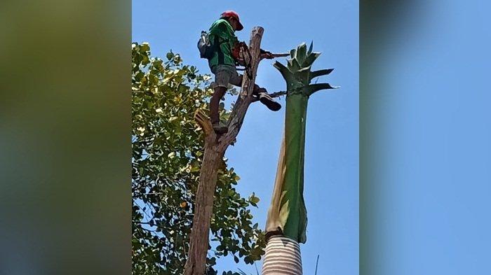 Sebelum Akhir Tahun, Pemotongan Pohon Rawan Tumbang di Banjarbaru Ditarget Rampung, Ini Kendalanya