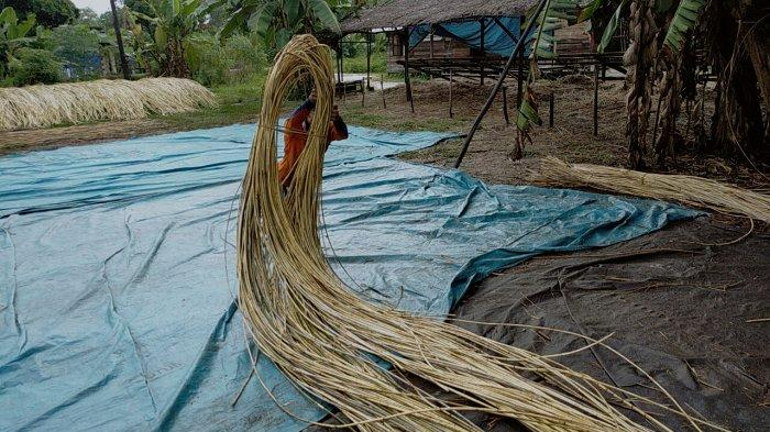 Menilik Bisnis Rotan Kalteng, Jalur Darat Tembus Pembeli Luar Negeri Langsung ke Kebun